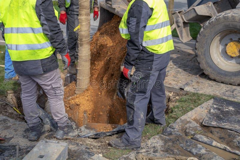Trabajadores que plantan una bola de raíz del árbol foto de archivo libre de regalías