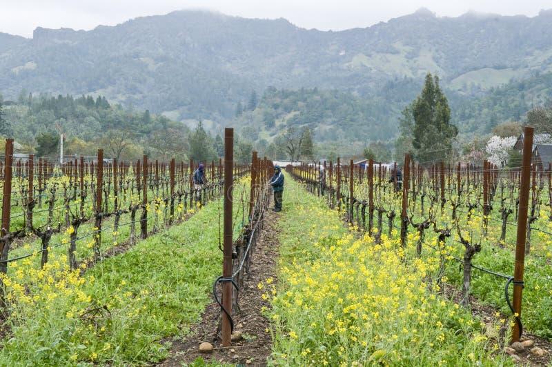 Trabajadores que tienden las vides de uva de vino en California foto de archivo libre de regalías