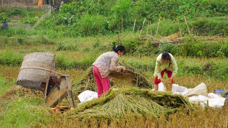Trabajo asiático de las mujeres sobre campo del arroz foto de archivo libre de regalías