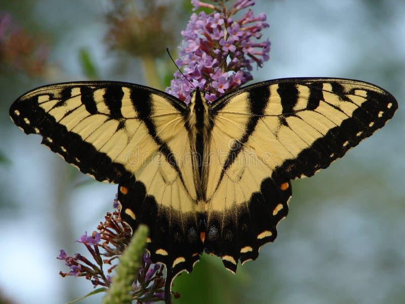 Trabajo de los arbustos de mariposa fotografía de archivo libre de regalías
