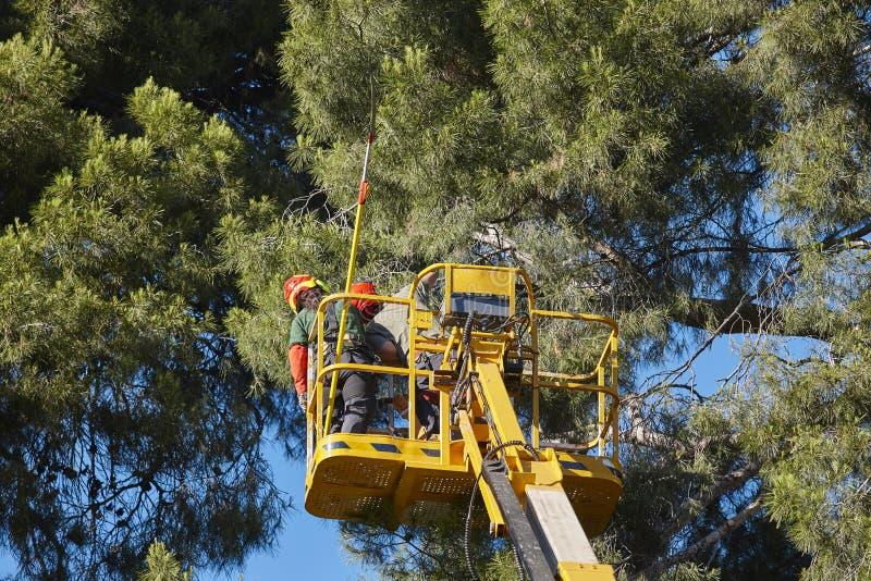 Trabajo del árbol, operaciones de la poda Madera de la grúa y de pino foto de archivo
