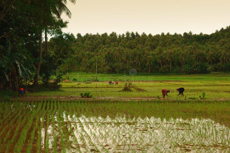 Trabajo en el terreno del arroz imagen de archivo
