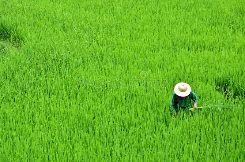 Trabajo en los campos del arroz imagen de archivo