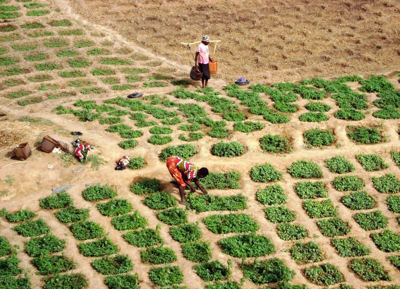 Trabajo en los campos - Ghana foto de archivo
