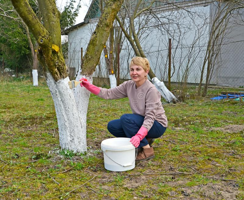 Trabajo en un jardín, blanqueo de la primavera de fruta-árboles fotos de archivo libres de regalías