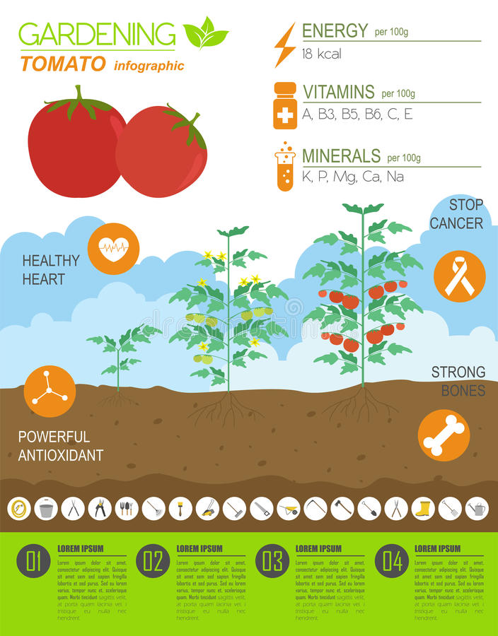 Trabajo Que Cultiva Un Huerto, Cultivo Infographic Tomate Plantilla ...