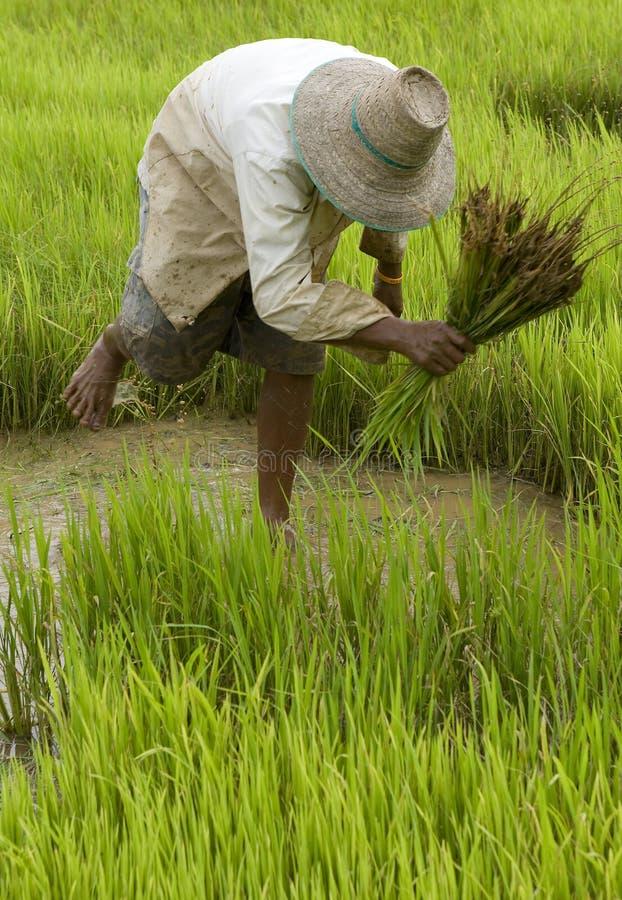 Trabajo sobre el arroz-campo en Asia fotos de archivo libres de regalías