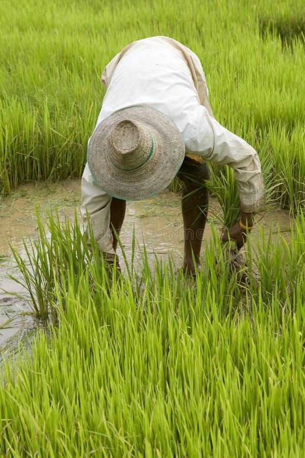 Trabajo sobre el arroz-campo en Asia foto de archivo