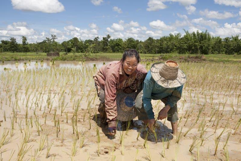 Trabajo sobre el campo de arroz, Asia imagenes de archivo