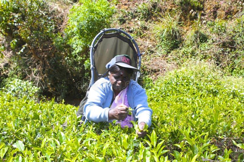 Trabajo srilanqués en la plantación de té foto de archivo