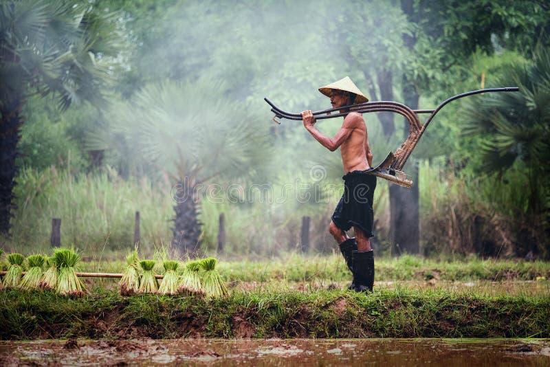Trabajos campesinos tailandeses en el campo del arroz, campo rural de Tailandia fotos de archivo