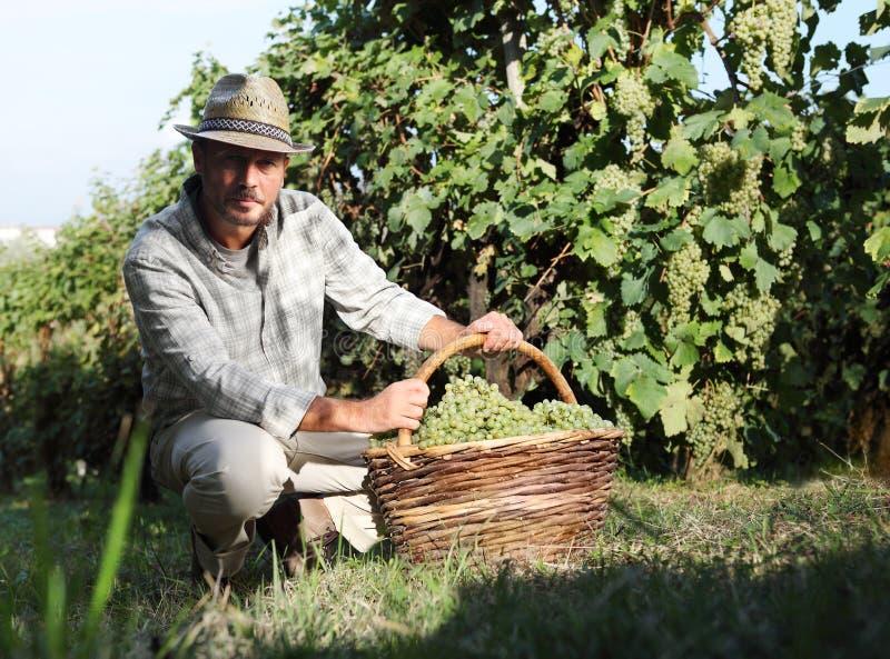 Trabalhador da colheita do vinho com a cesta completa dos grupos de uvas fotos de stock royalty free