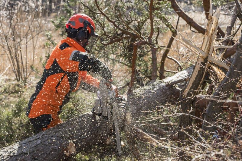 Trabalhador da floresta que corta uma árvore com uma serra de cadeia fotos de stock royalty free