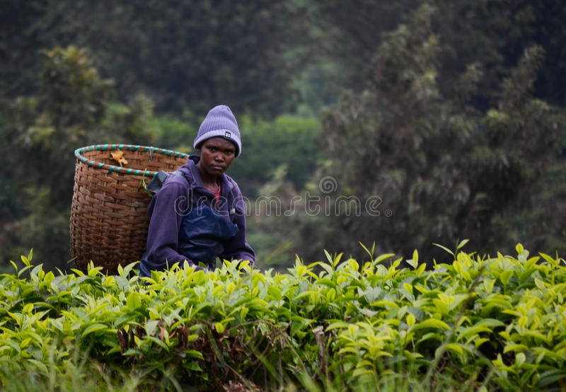 Trabalhador da plantação de chá imagem de stock royalty free