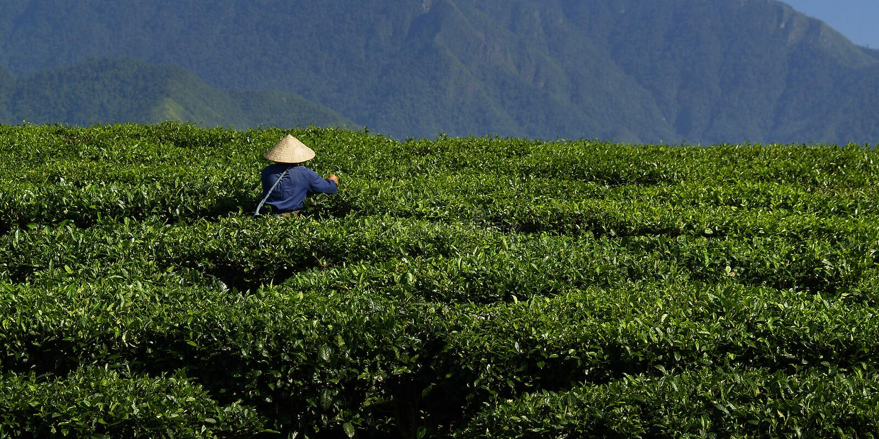 Trabalhador da plantação de chá imagens de stock