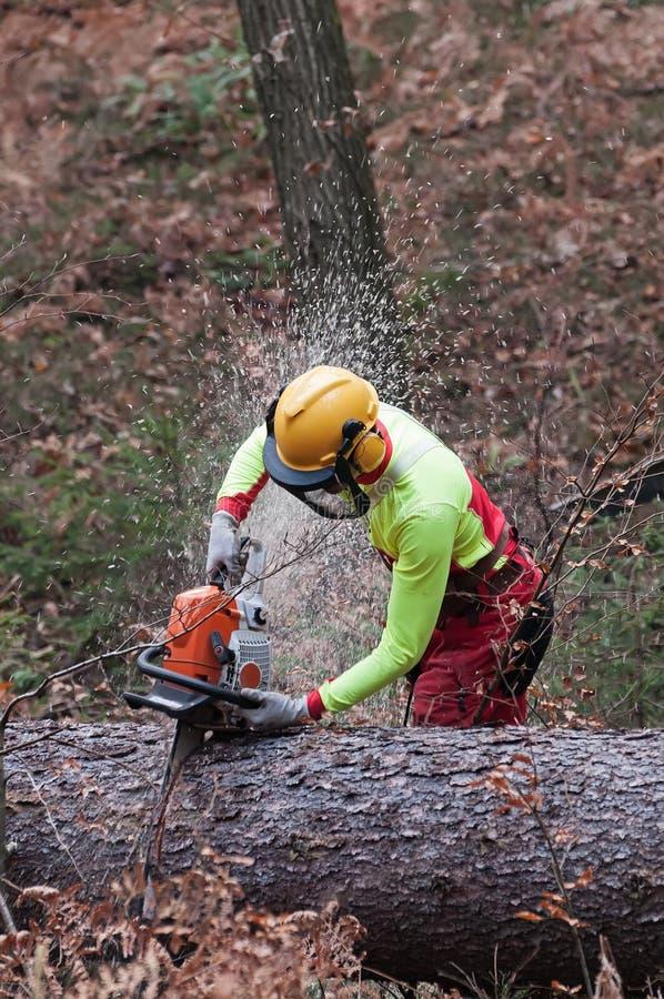 Trabalhador da silvicultura que corta o grande tronco de árvore spruce com sua serra de cadeia imagem de stock royalty free