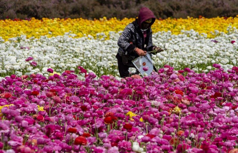 Trabalhador de campo que escolhe flores gigantes do ranúnculo para o mercado imagem de stock royalty free