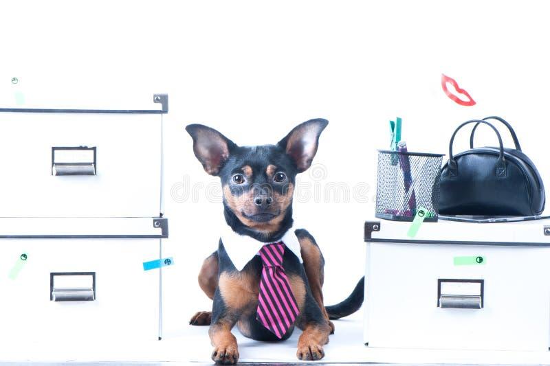 Trabalhador de escritório do cão Um cão em um laço e um colar branco no escritório Terrier de brinquedo do russo fotos de stock