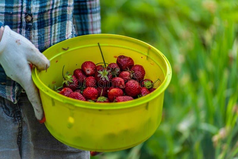 Trabalhador do jardim \ 'mão de s nas luvas do jardim que guardam a bacia verde completamente de morangos maduras vermelhas imagem de stock