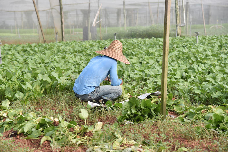 Trabalhador em uma exploração agrícola vegetal foto de stock royalty free