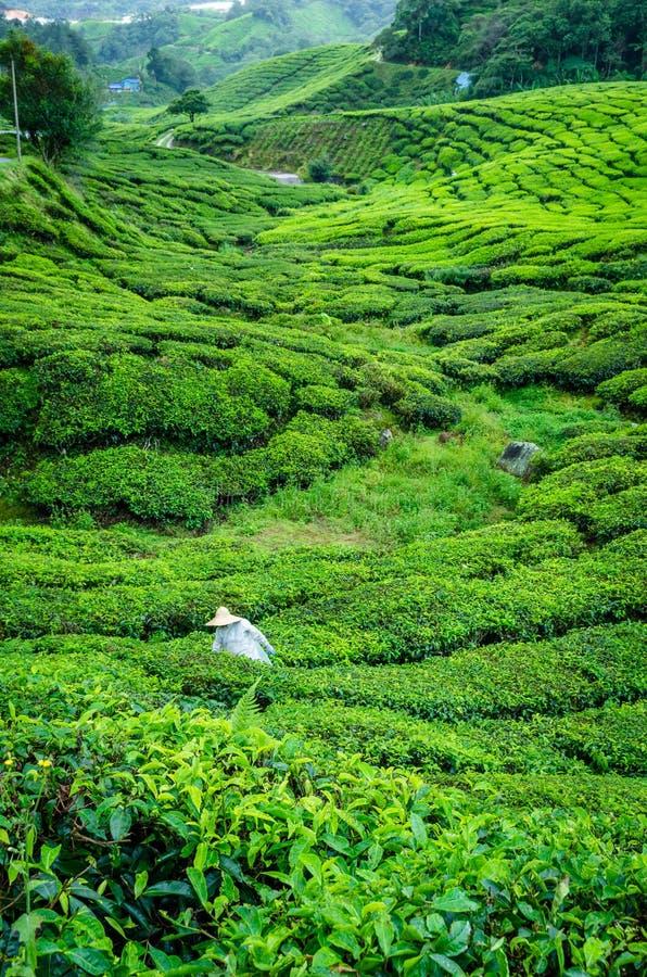 Trabalhador na plantação de chá fotografia de stock royalty free