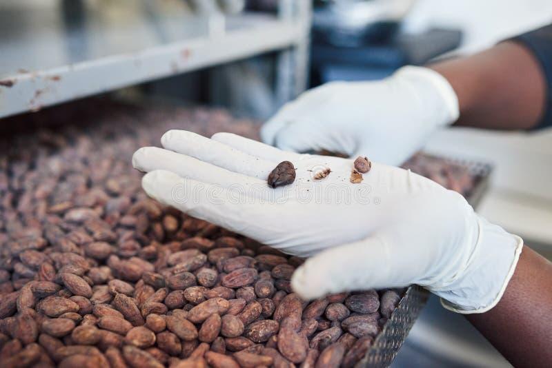 Trabalhador que classifica feijões de cacau de uma bandeja da fábrica fotografia de stock royalty free
