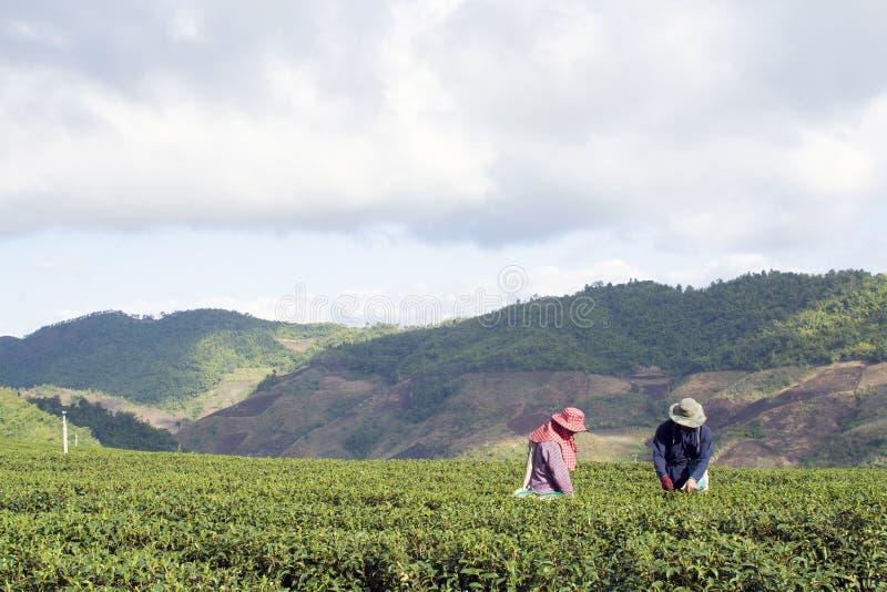 Trabalhador que colhe o chá na plantação em Chiang Rai, Tailândia foto de stock