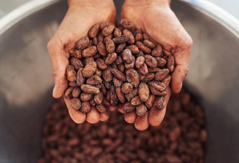 Trabalhador que guarda um punhado de feijões do cocao para a fatura de chocolate imagens de stock