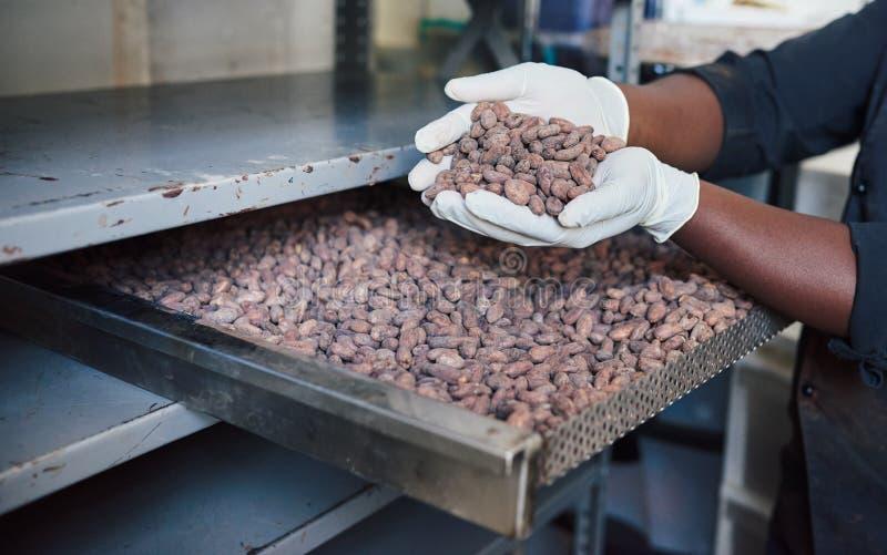 Trabalhador que inspeciona feijões de cacau de uma bandeja da fábrica foto de stock royalty free