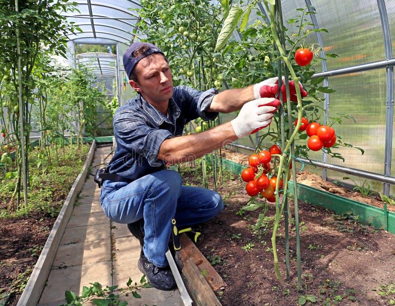 Trabalhador que processa os arbustos dos tomates na estufa imagens de stock