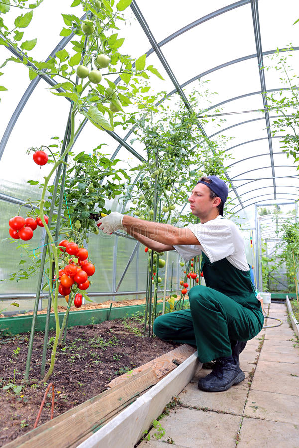 Trabalhador que processa os arbustos dos tomates na estufa do polyc fotografia de stock