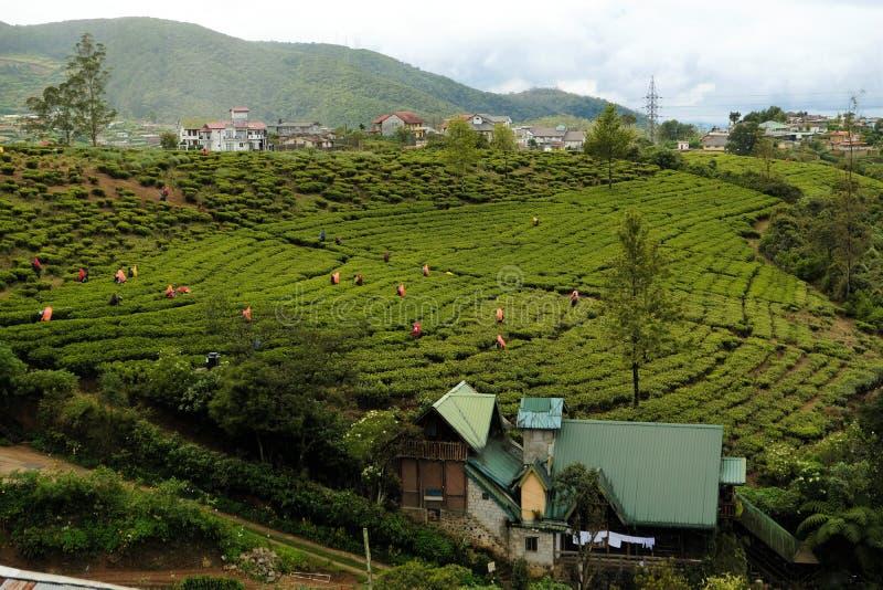 Trabalhadores azuis famosos das plantações de chá de Sri Lanka foto de stock royalty free