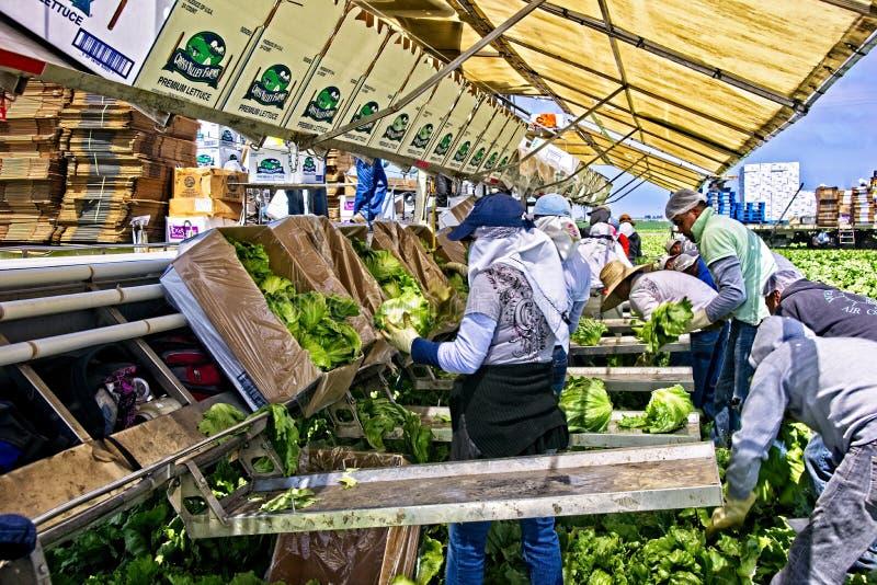 Trabalhadores da colheita da alface fotografia de stock royalty free