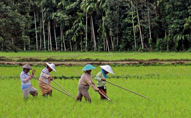 Trabalhadores de campo do arroz no vale de Harau em Sumatra ocidental, Indonésia fotografia de stock