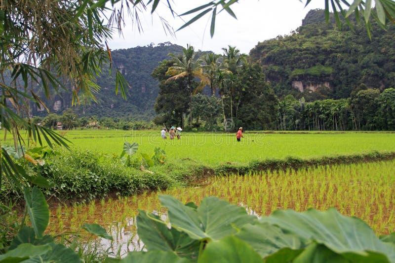 Trabalhadores de campo do arroz no vale de Harau em Sumatra ocidental, Indonésia imagem de stock royalty free