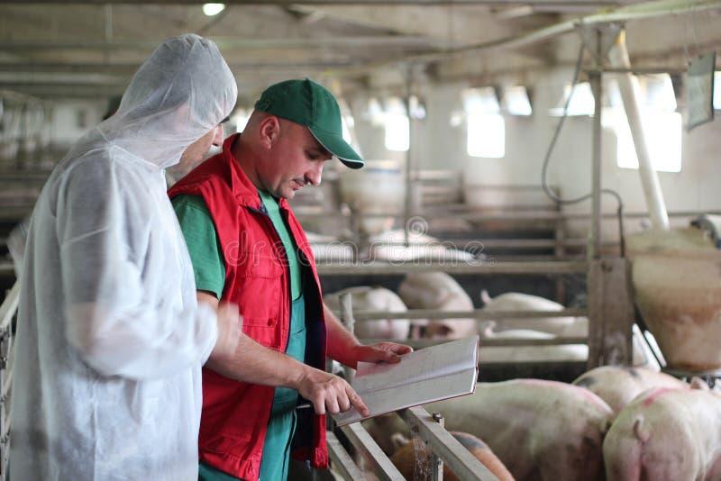 Trabalhadores de exploração agrícola do porco imagens de stock royalty free