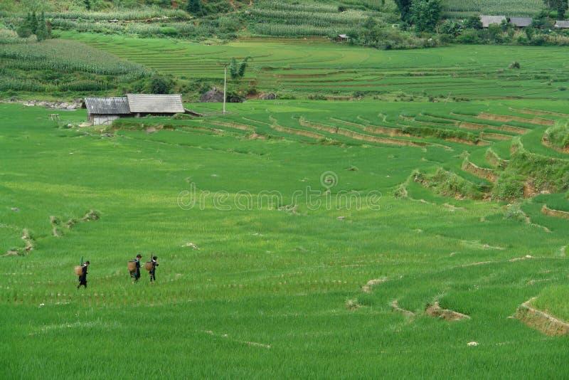 Trabalhadores do arroz foto de stock royalty free