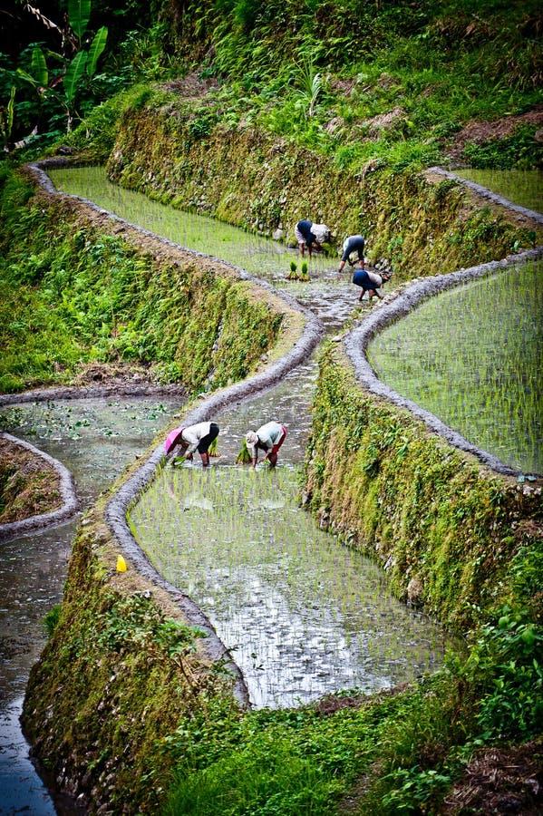 Trabalhadores em almofadas de arroz no ifugao, pla dos batadworkers imagens de stock royalty free