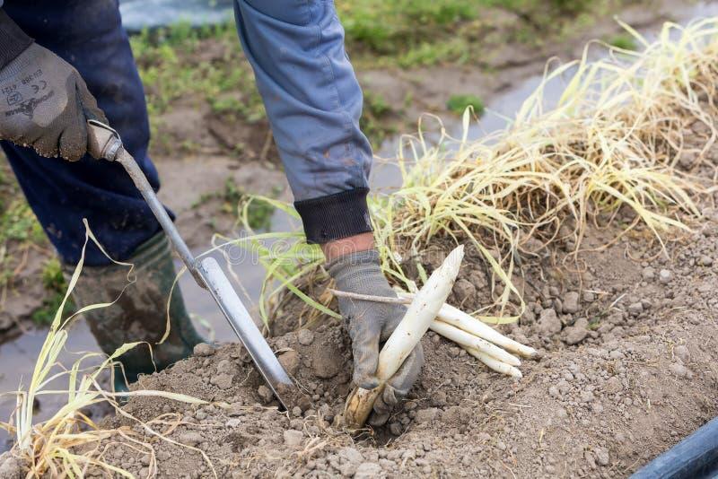 trabalhadores na exploração agrícola durante a colheita do aspargo branco fotografia de stock royalty free