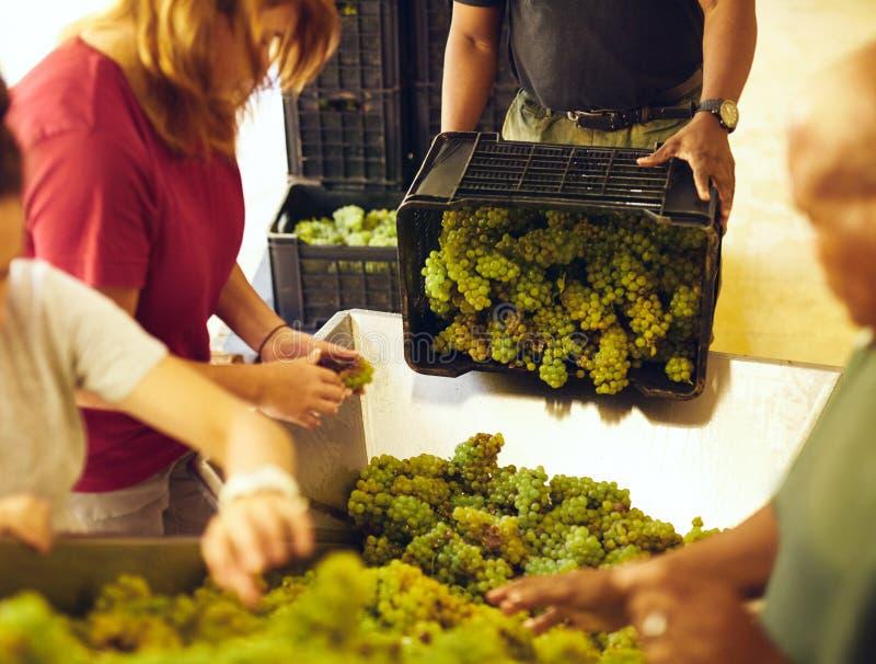 Trabalhadores que classificam uvas na correia transportadora na adega fotos de stock royalty free