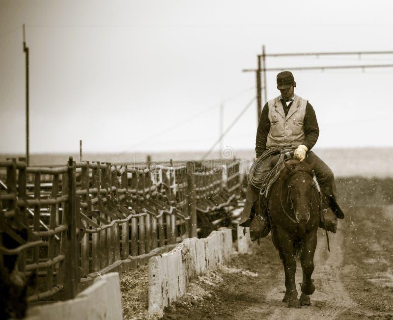 Trabalhando o feed-lot Um vaqueiro americano
