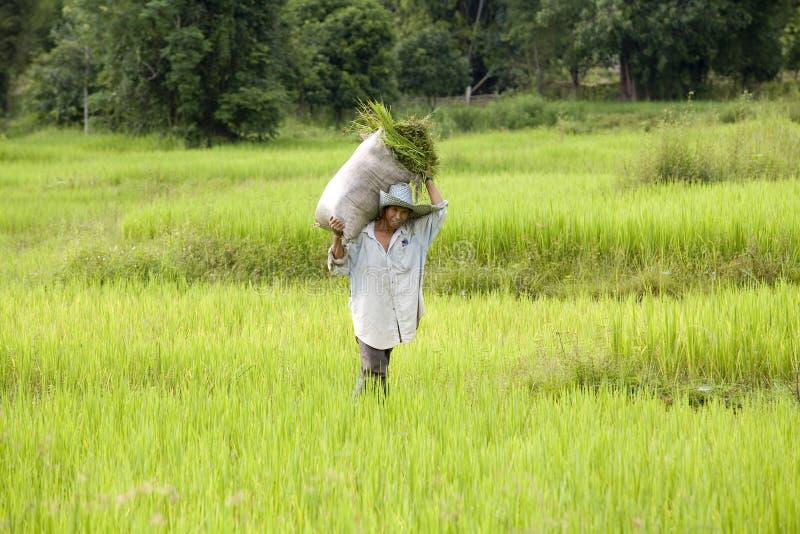 Trabalhe no campo do arroz imagem de stock royalty free