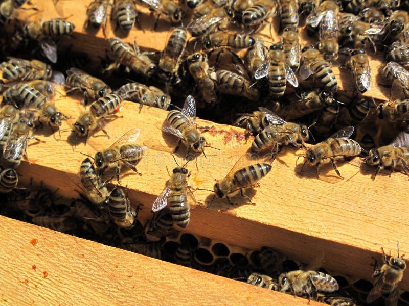 Trabalho das abelhas fotografia de stock royalty free