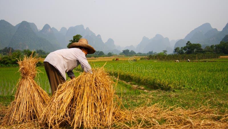 Trabalho de campo 3 do arroz imagens de stock