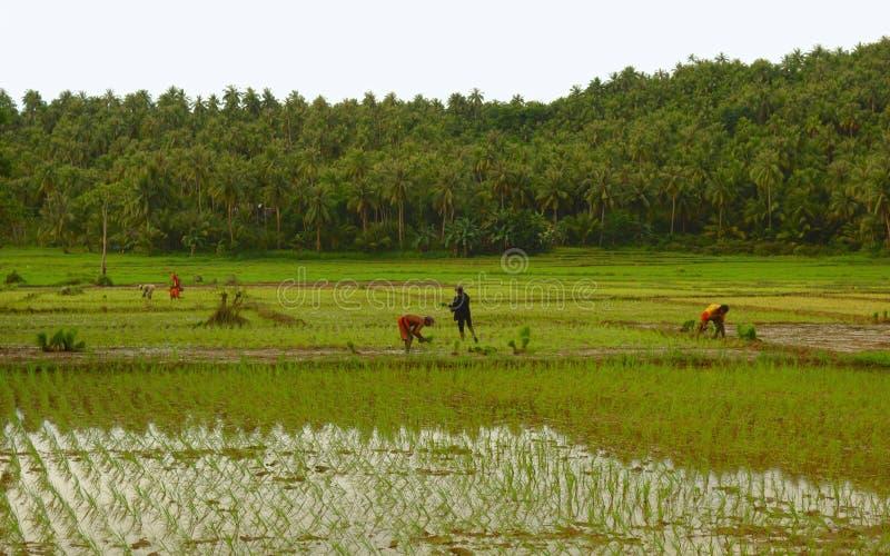 Trabalho de campo do arroz imagens de stock