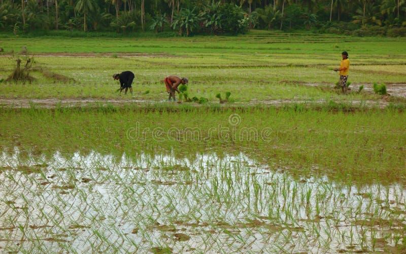 Trabalho de campo do arroz fotografia de stock