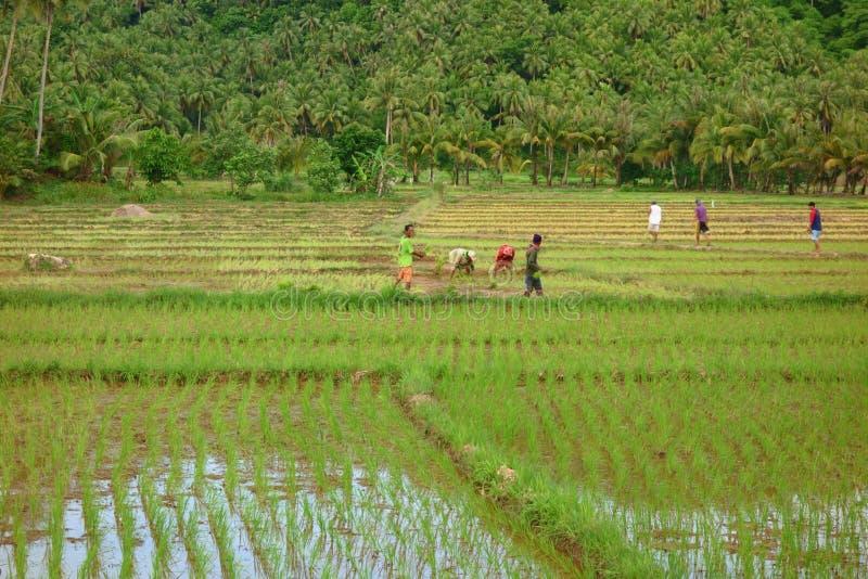 Trabalho de campo do arroz fotografia de stock royalty free