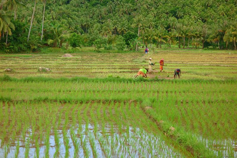 Trabalho de campo do arroz foto de stock