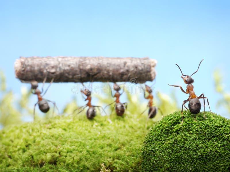 Trabalho de controlo principal das formigas, trabalhos de equipa fotos de stock royalty free