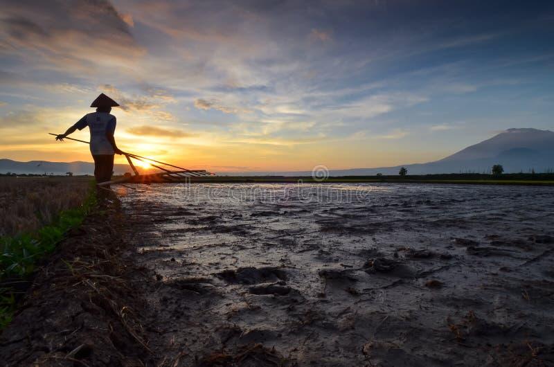 Trabalho do fazendeiro no campo do arroz na manhã foto de stock